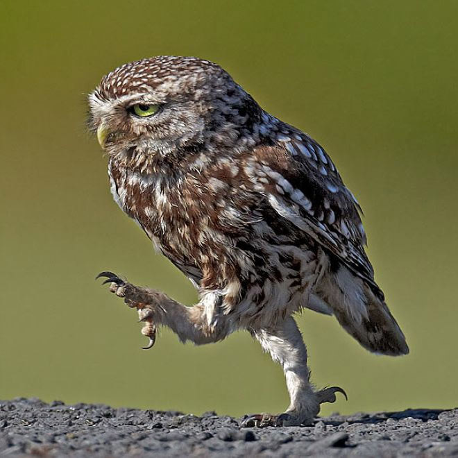 Owls have surprisingly long legs.