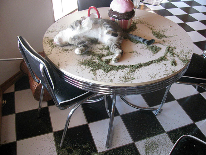 Cat high on catnip.