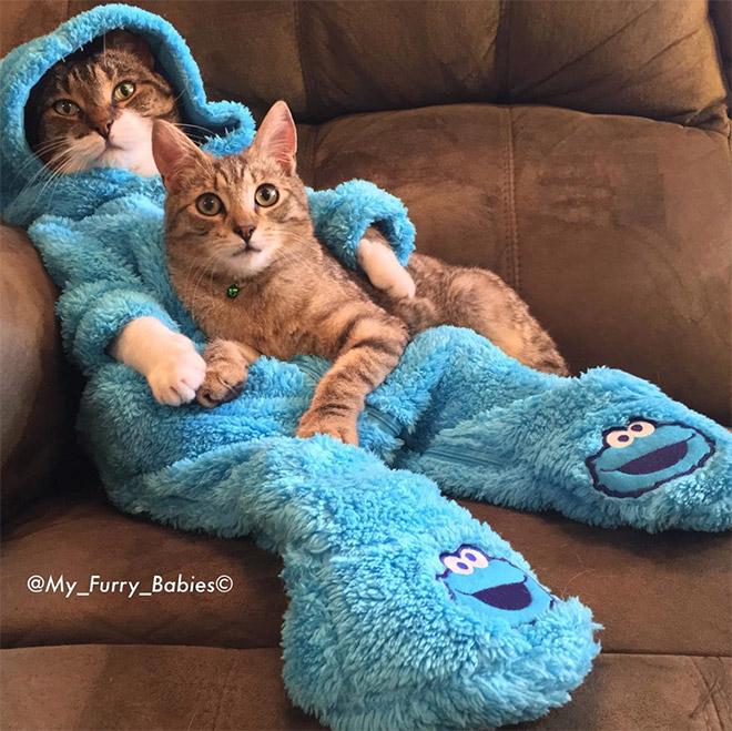 Cookie Monster onesie wearing cat.
