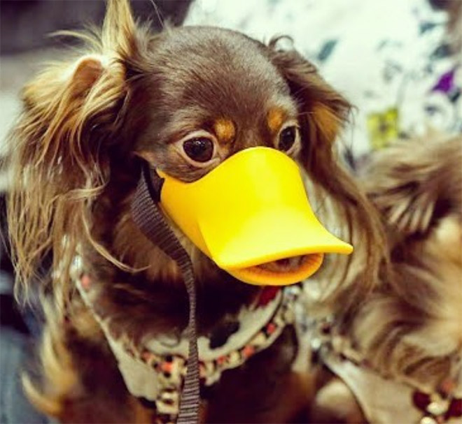 Dog wearing a duckbill dog muzzle.