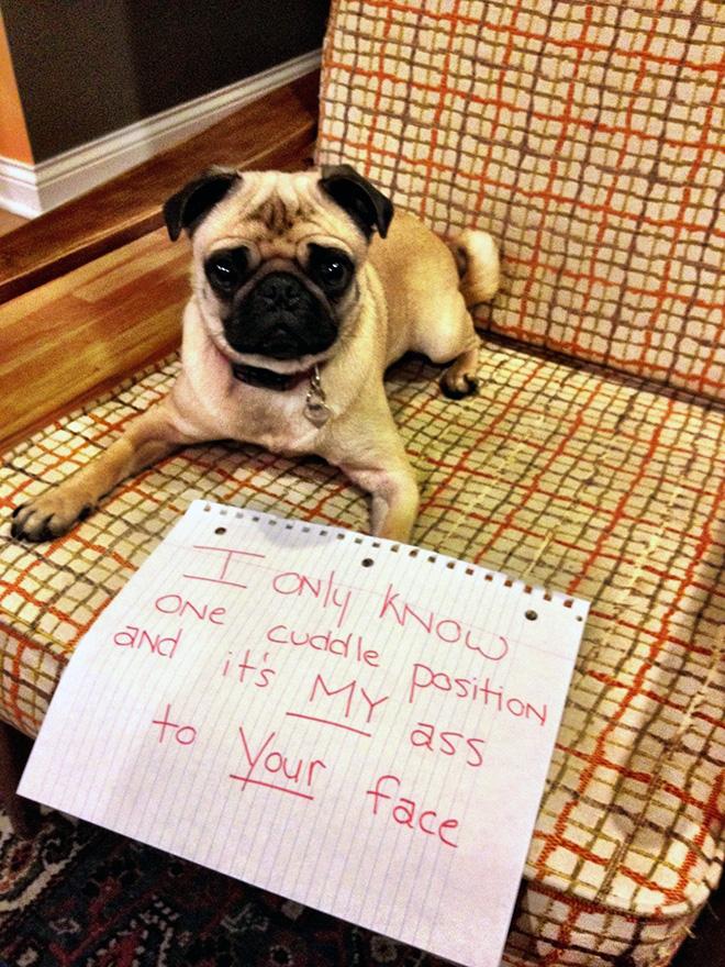 Pug shaming.