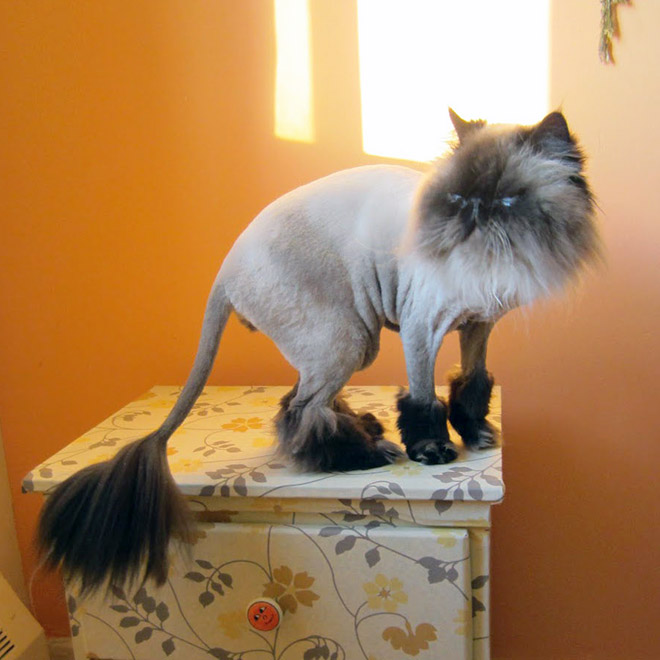 He doesn't like his lion haircut.