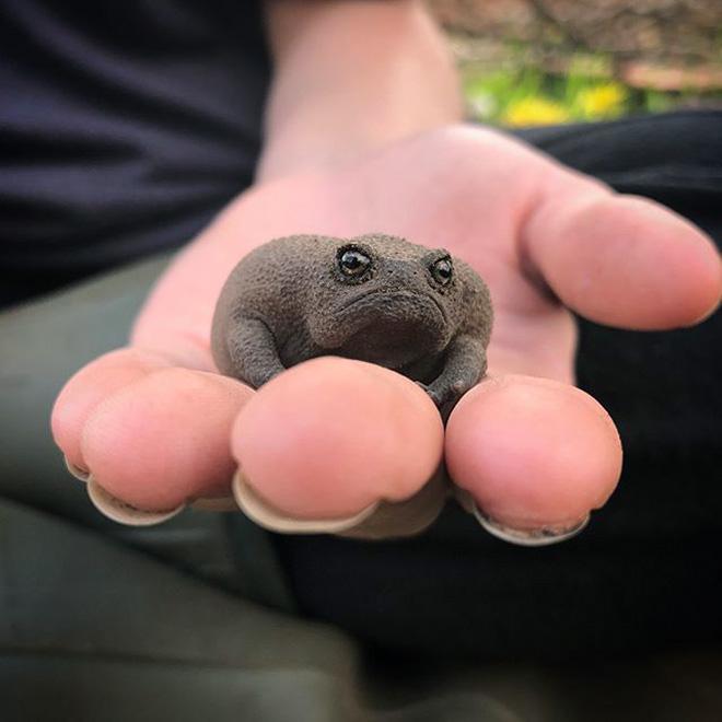 Grumpy rain frog.