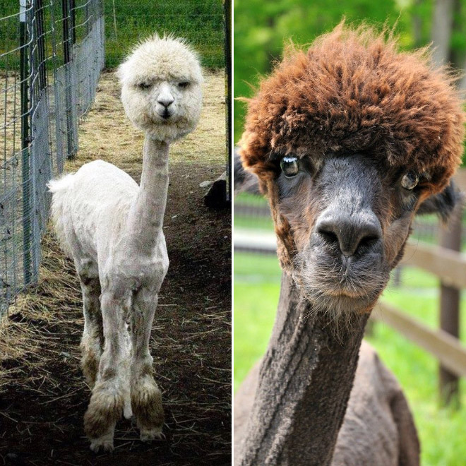 Alpacas are majestic creatures.
