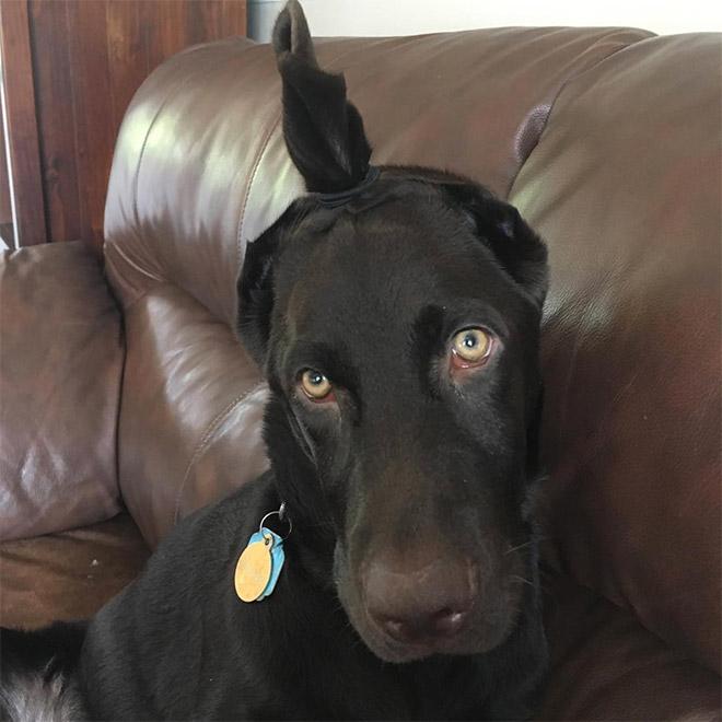 Dog with man bun ears.