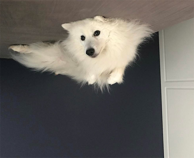Poor dog floated to the ceiling and now is stuck.