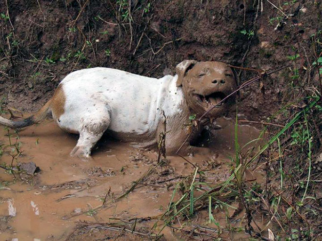 Happy mud dog.
