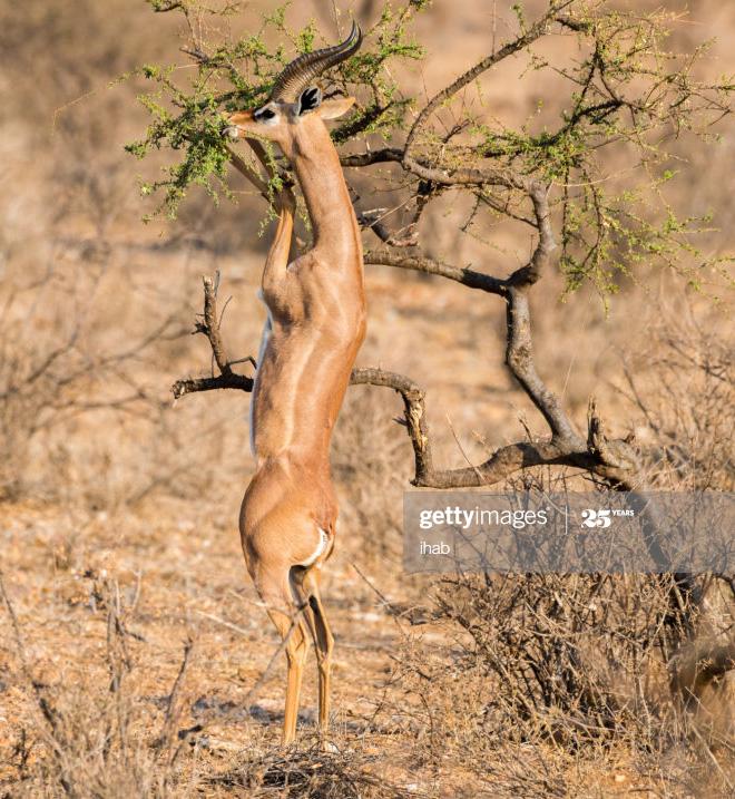 Awkwardly standing gazelle.