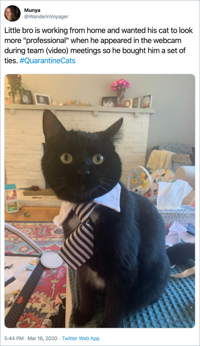 """Little bro is working from home and wanted his cat to look more """"professional"""" when he appeared in the webcam during team (video) meetings so he bought him a set of ties."""