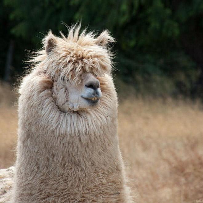 Alpacas are truly majestic animals.