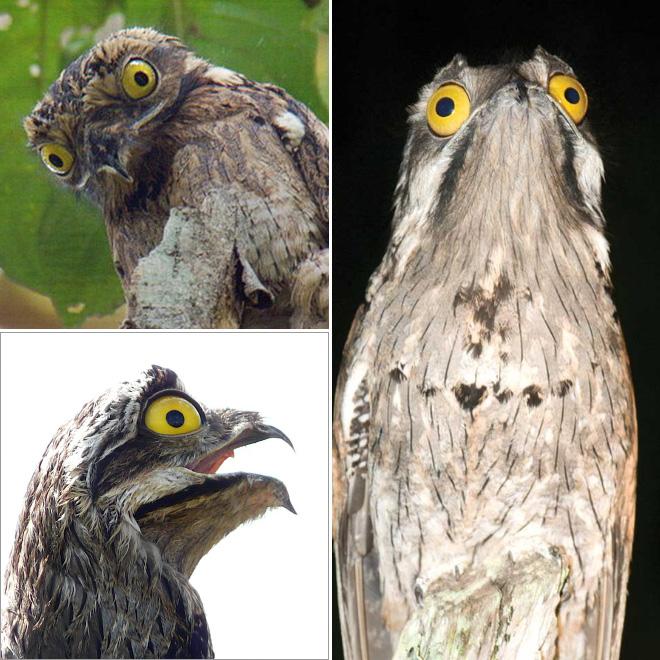 Potoo birds.