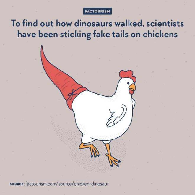 It's no secret that today's birds are descendants to what used to be dinosaurs. To study the locomotion of dinosaurs, researchers from the faculty of science of the university of Santiago realised that by moving backwards the centre of gravity of common birds, chickens, from their hatching to their adulthood, they could get the birds to walk more or less like dinosaurs used to. How? By having the chickens wearing artificial tails.