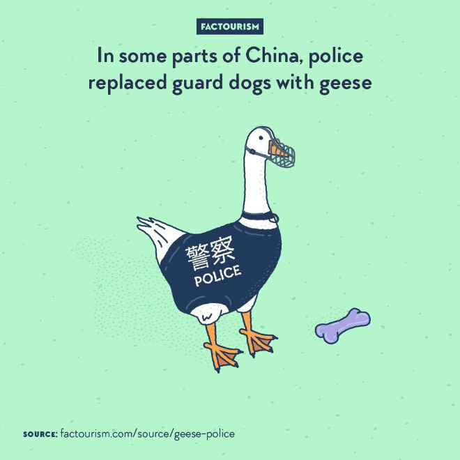 Geese have excellent hearing, exceptional eyesight, are very territorial, aggressive, and loud. For all of these reasons, some police stations in rural parts Xinjiang Province now have geese guarding at night.