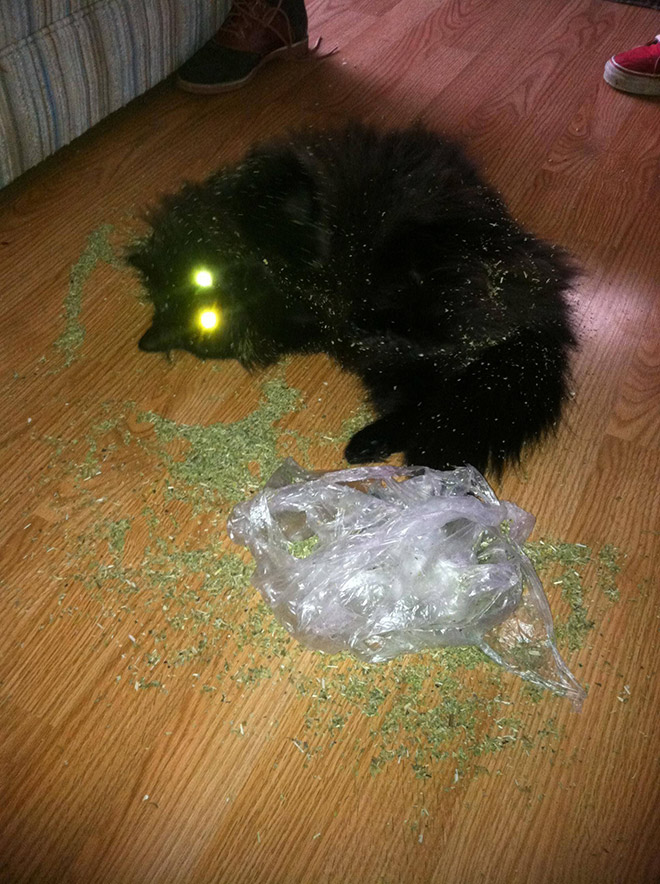 Cat on catnip.