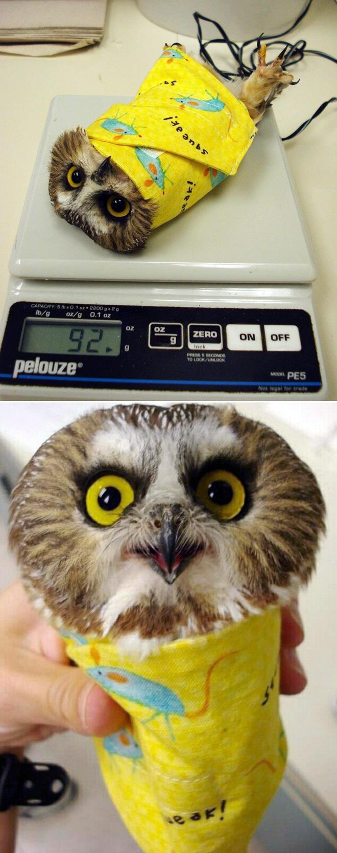 Weighing an owl.