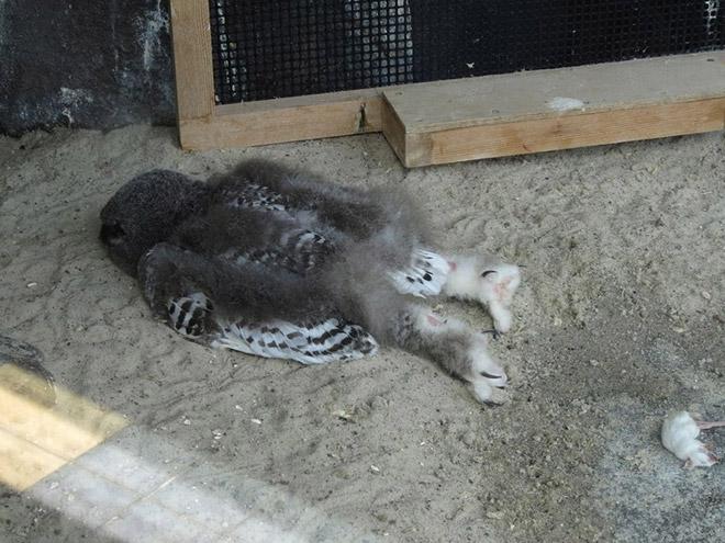 Sleeping baby owl.