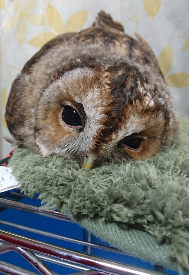 Sleepy owl.