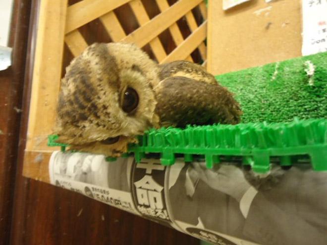 Sleeping owl.