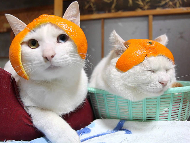 Citrus hat cats.