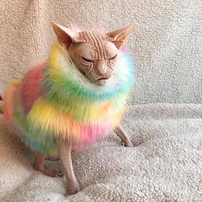 Grumpy sphynx cat.