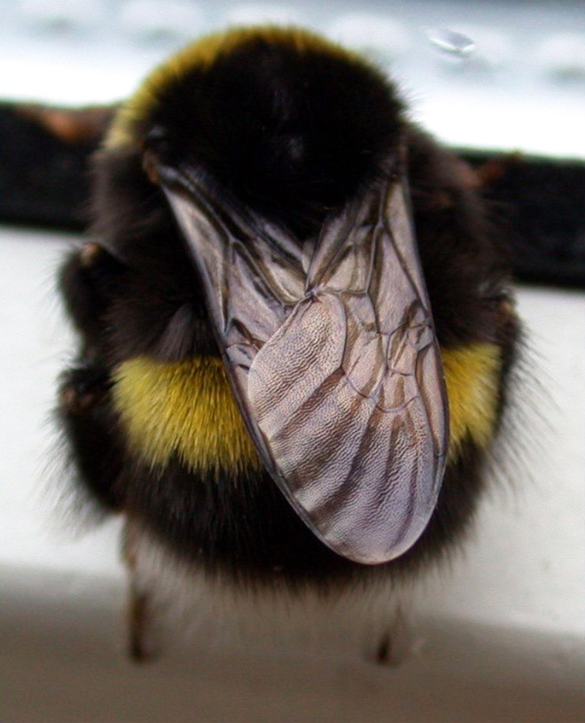 Beautiful bumblebee butt.