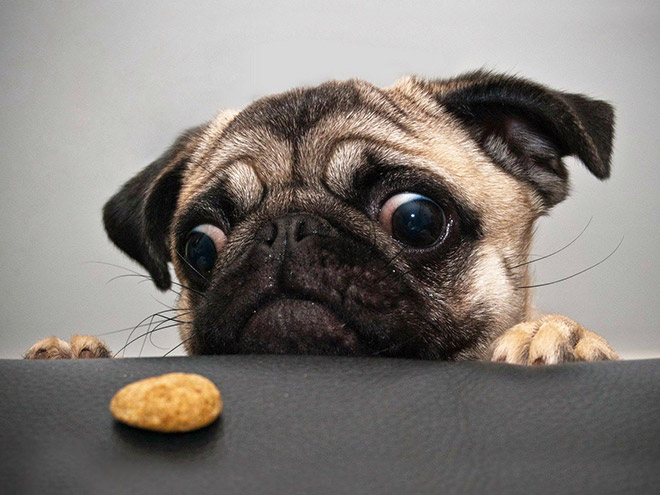Pugs are such drama queens!
