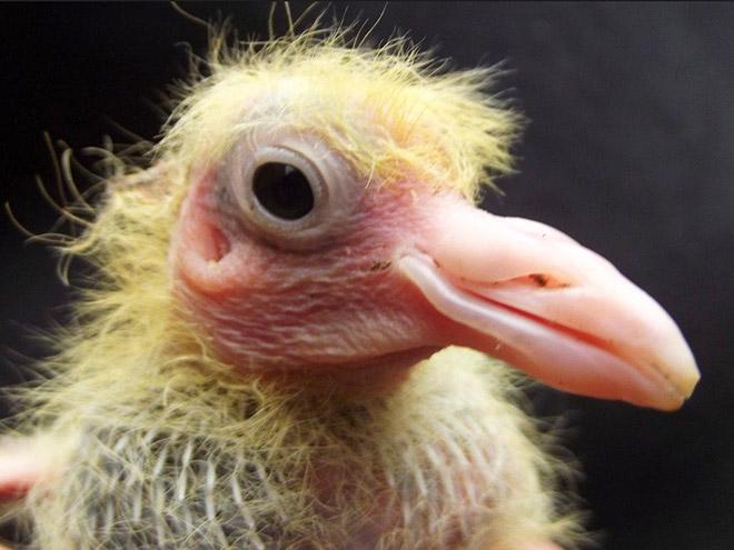 Baby pigeon.