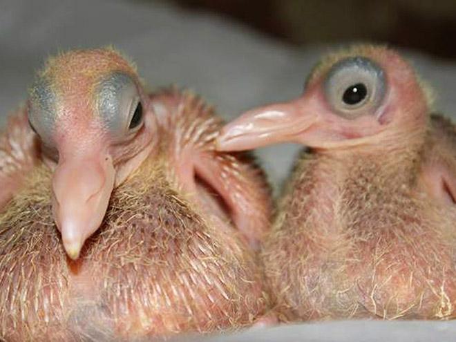 Baby pigeons.