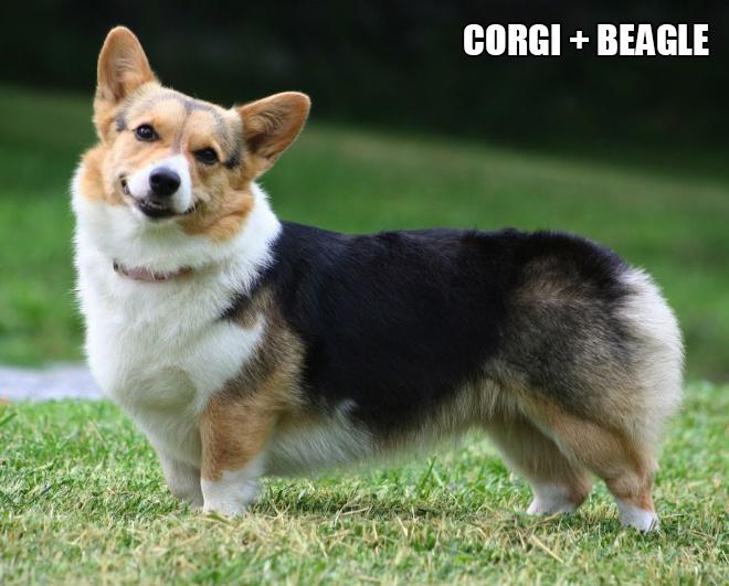 Corgi mix.