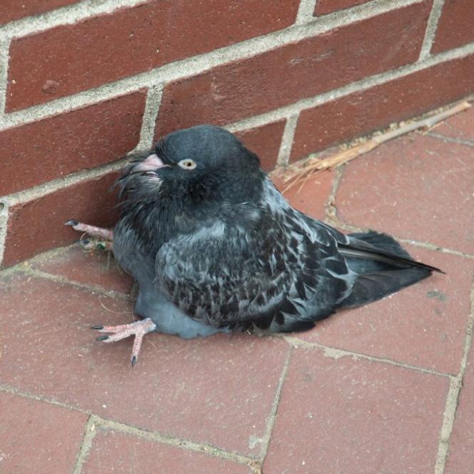 Sitting pigeon.