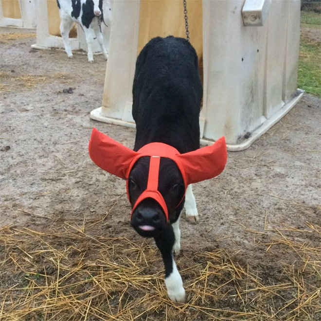 This is how farmers protect their cows from frostbite.