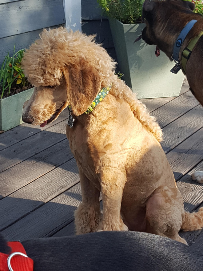 Mullets is the latest dog grooming trend.