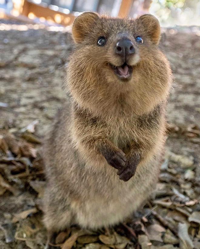 Quokka is the happiest animal ever.