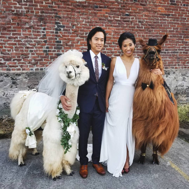 Did you know you can rent llamas and alpacas for your wedding?