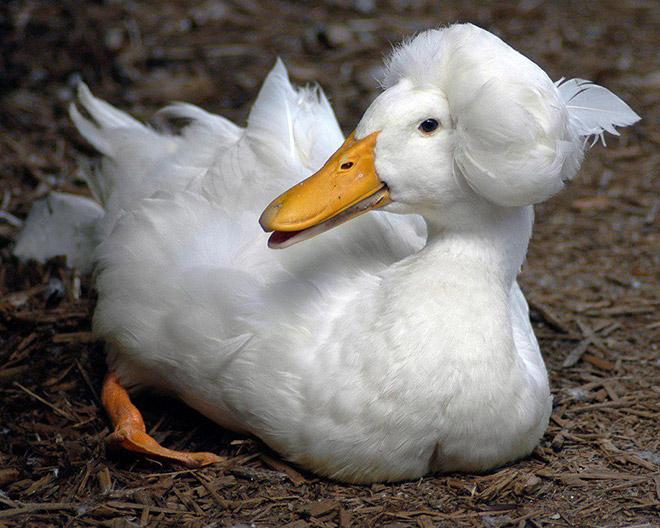 Some ducks look like George Washington.