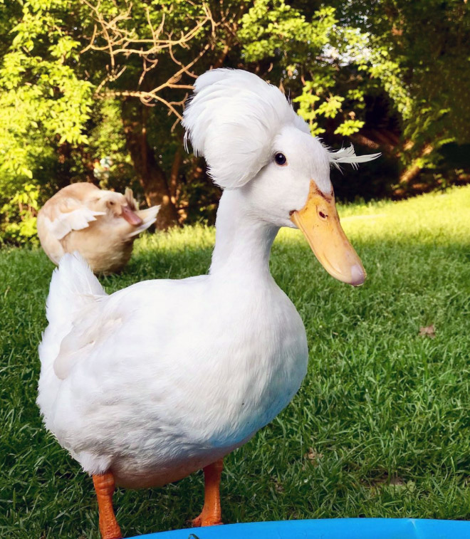 Some ducks look like George Washington.
