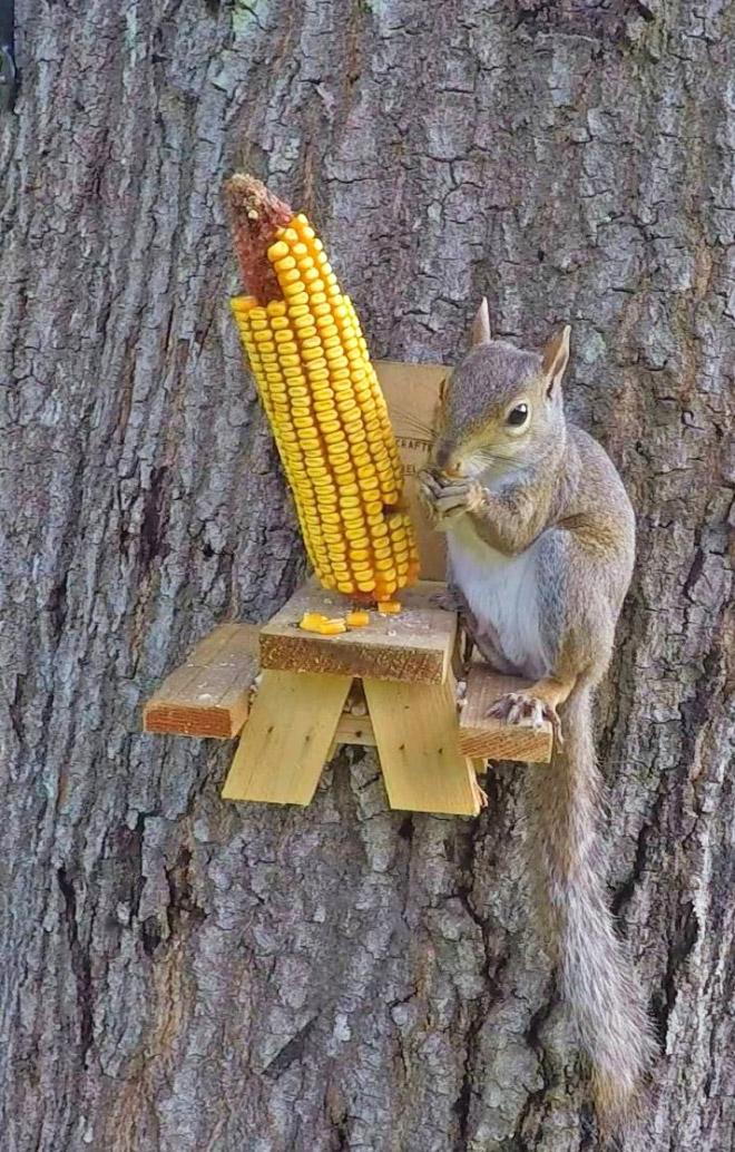 Squirrel having some corn.