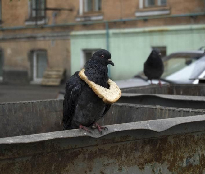 Rich pigeon showing off his bread necklace.