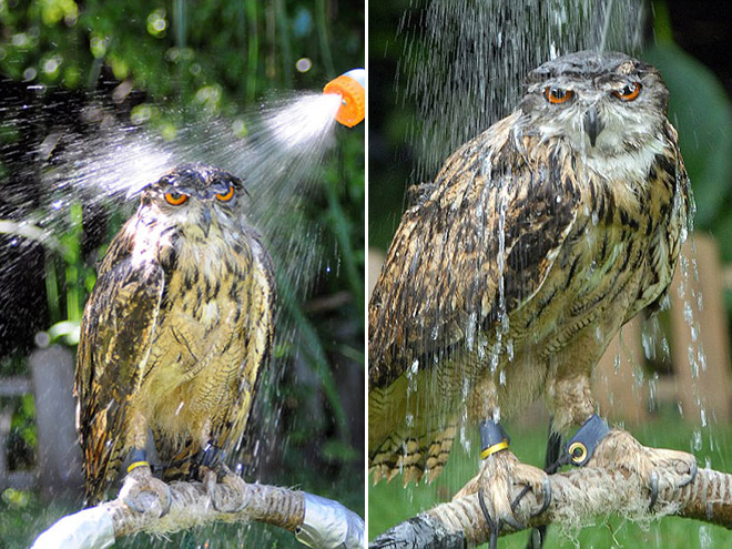 Wet owls are hilariously grumpy.