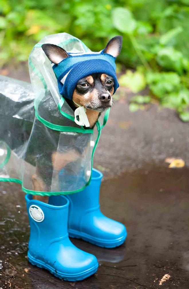 Dog wearing a raincoat.