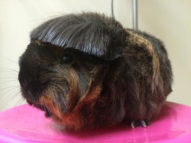 Guinea pig with bangs.