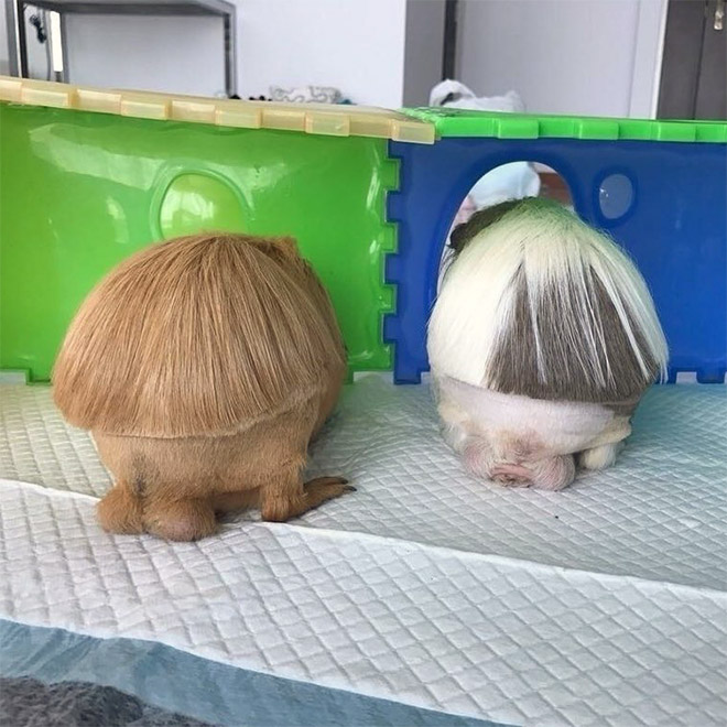 Guinea pigs with bangs.