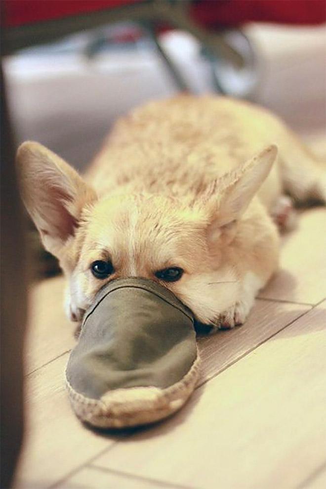Il y a une nouvelle race de chien : le chien ornithorynque.
