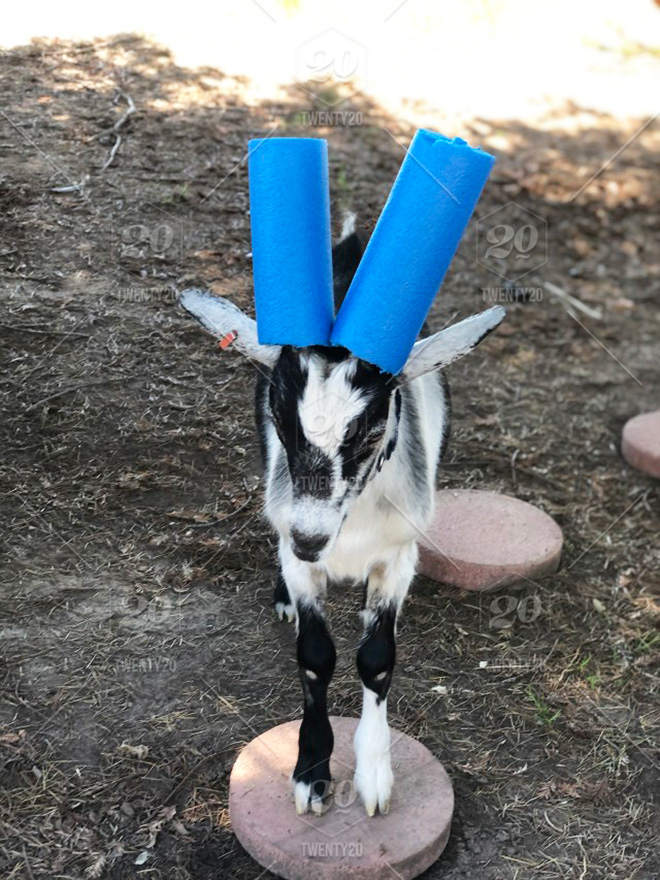 Wearing pool noodles on horns for everyone's safety.