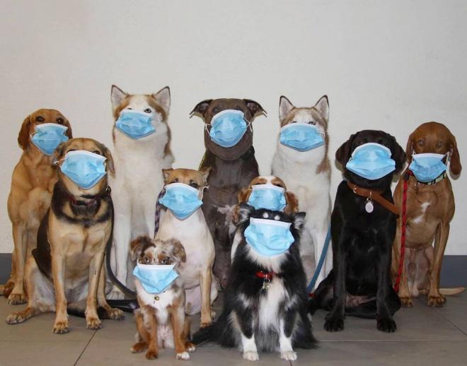 Photo de groupe de chiens COVID-19.