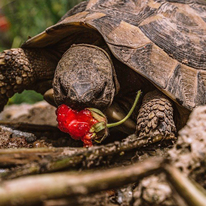 Turtle eating a strawberry.