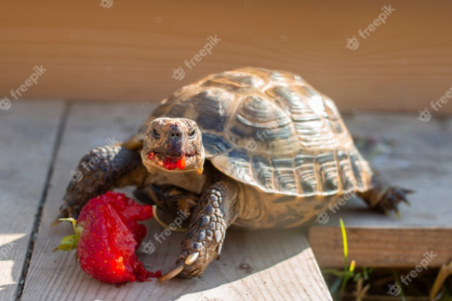 Tortoise eating a strawberry.