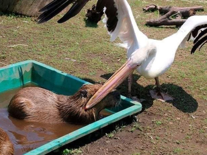 Pelicans will eat anything.