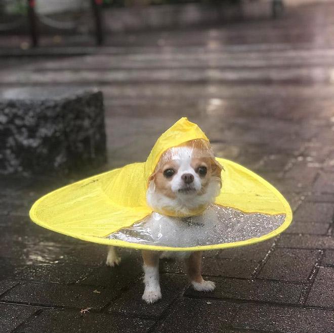 Imperméable UFO pour chien.