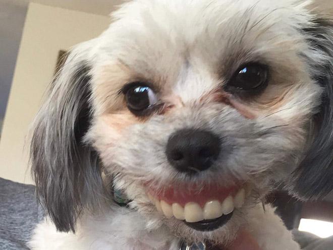 Chien tenant des prothèses dentaires.